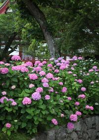 大和郡山市矢田寺紫陽花1 - 魅せられて大和路