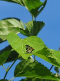 キマルリ(トラ型)のテリ張 - 蝶超天国