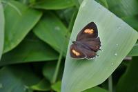 高原のゼフィルス蝶を楽しむ(2019/07/13)群馬遠征① - 里山便り