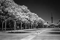 妖しく白化した街路樹の広場で無邪気に鳩と遊ぶ透明人間 - Silver Oblivion