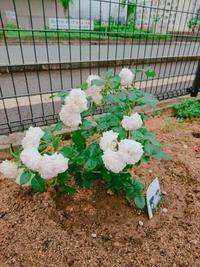 薔薇が綺麗です - 水夢のスタッフ日記