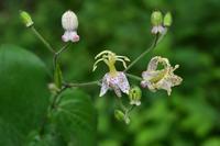 ヤマホトトギス - 野の花山の花ウォッチング in 奥多摩
