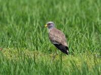 青田の中にケリがいた - コーヒー党の野鳥と自然 パート2