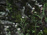 岩の花 - ブナの写真日記