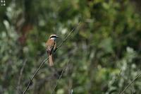 上陸最初はアカモズのFieldへ - 野鳥公園