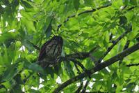 コノハズクの次はアオバズク♪ - 北の大地で野鳥ときどきフライフィッシング