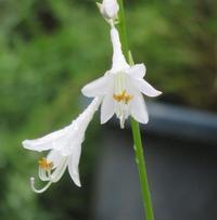 ギボウシ - 季節の花