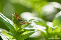 紅小灰蝶【ベニシジミ】 - kawanori-photo