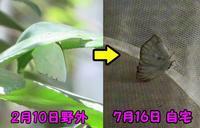 ウラギンシジミ越冬個体 - 秩父の蝶