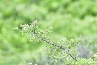 高原の野鳥④ - expeedのbirdisland あの日あの時あの場所で・・・volⅡ