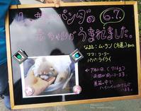 2019.7.13 東北サファリパーク☆レッサーパンダのリーリーちゃん【 Lesser panda】 - 青空に浮かぶ月を眺めながら