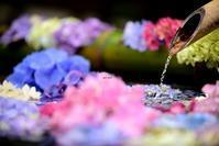 手水で紫陽花 ~3~ - 一歩々々 ~いっぽいっぽ~