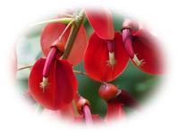 マルバデイゴの花 - ひとりあそび