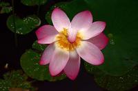 利根町の雨の親水公園・・・蓮の花 - ひな日記