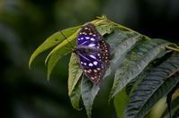 オオムラサキ7月15日 - 超蝶