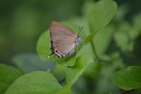 ミヤマカラスシジミ異常型? 7月15日 - 超蝶