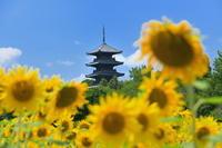 向日葵岡山県 - ty4834 四季の写真Ⅱ