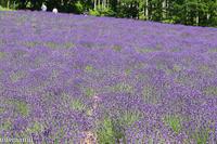 紫の絨毯の「ファーム富田」~7月の中富良野 - My favorite ~Diary 3~