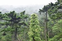 ツルアジサイとオオヤマレンゲの咲く森弥山 - 峰さんの山あるき