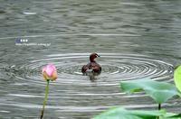 ハス池にカイツブリ - azure 自然散策 ~自然・季節・野鳥~