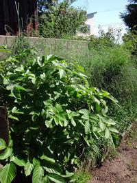 春に収穫したウドと、ウド畑の変化。今は空っぽ・・・? - 窓の向こうに
