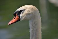 Mute Swan - ∞ infinity ∞