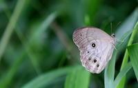 大和路小遠征その2 - 紀州里山の蝶たち