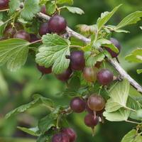 グスベリーの収穫 - sola og planta ハーバリストの作業小屋