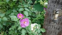 梅雨の晴れ間の庭から - 今から・花