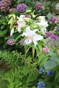 カサブランカ X アジサイ - ・・・花に想いをのせて・・・