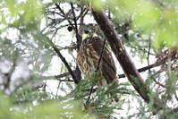 アオバズクに逢いに - 私の鳥撮り散歩