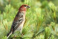 ギンザンマシコ - 北の野鳥たち