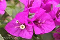 太陽が似合うブ-ゲンベリアの花(^^♪ - 自然のキャンバス