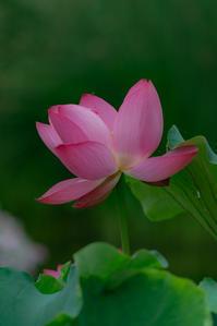 美しく咲く*蓮 4 - 気ままにお散歩