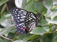 アカボシゴマダラ(蝶)(外来種) - しらこばとWeblog