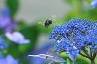 紫陽花に蜂 - SWAN