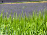 麦とラベンダー~7月のファーム富田 - My favorite ~Diary 3~