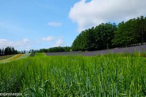 麦とラベンダー~7月のファーム富田 -