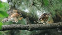 ツミ幼鳥が2羽で跳ね回る - Life with Birds 3