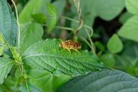 ■キンケハラナガツチバチ19.7.17 - 舞岡公園の自然2