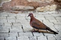 群れるハト、群れないハト - 写真でイスラーム