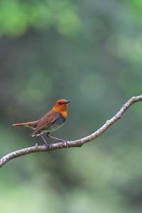 今年のコマドリ 舞台、枝どまり編④ - 瑞穂の国の野鳥たち
