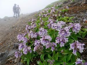 タルマエソウとイワギキョウの樽前山、2019.7.15 - デジカメ持って野に山に