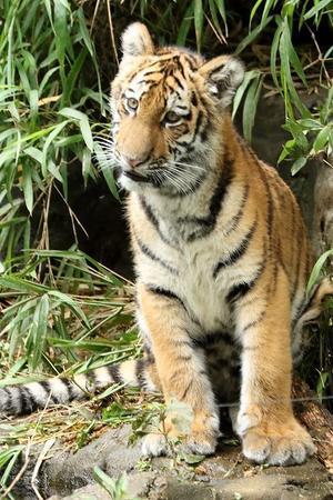 僕は生後5ヵ月半のアムールトラ、しょうへいです(多摩動物園) - 旅プラスの日記