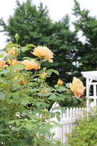 2つのシャーロット嬢と3つのタコ - ペコリの庭 *