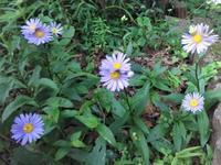 朝鮮嫁菜 - だんご虫の花