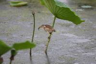 ヨシゴイの餌集めで奮闘中 - 私の鳥撮り散歩