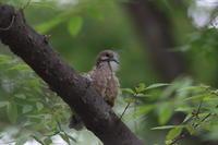 キジバト子育て① ツミの傘の下で - 気まぐれ野鳥写真