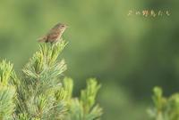 ミソサザイ - 北の野鳥たち