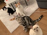 MINKWIN YURI   5ヶ月 - MINKWIN Cattery &Pretty Aki                    トンキニーズの店